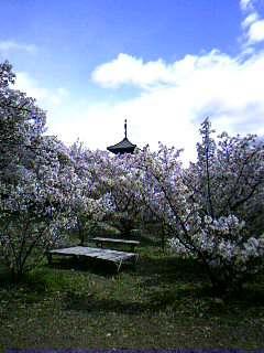 まだ楽しめる桜